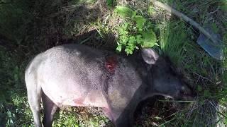 Охота на кабана в вольере видео