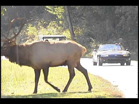 WLOS GSMNP Telethon Catalooche Elk