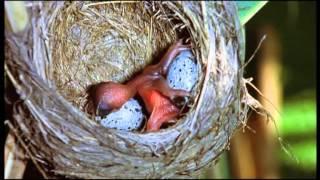 Junger Kuckuck stemmt Eier aus dem Nest eines Drosselrohrsängers