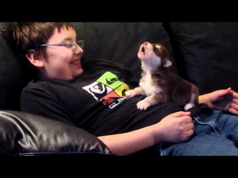 This Incredibly Tiny Husky Puppy Learning To Howl Is The Most Inspirational Thing You'll See Today