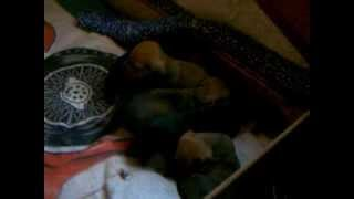 15 Seconds: New Cute Dachshund Puppies Video Snuggling :)