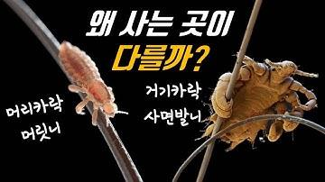 사면발니와 몸니는 어쩌다 다른 털에 살게 됐을까? (feat.머릿니)│이의 진화