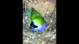 Gouldian finches breeding in a colony