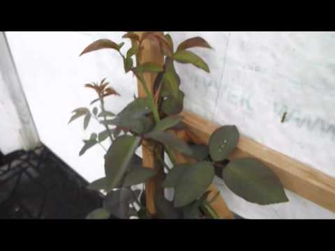 Planting Bare Root Raspberries from YouTube · Duration:  4 minutes 20 seconds