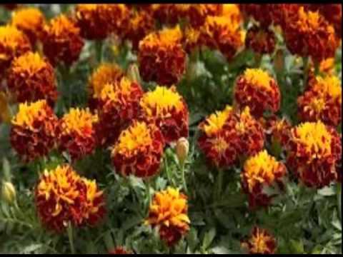 цветов бархатцы фото