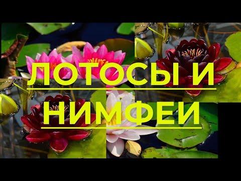 Водные растения Лотос и Нимфеи (Кувшинка) - какая между ними разница
