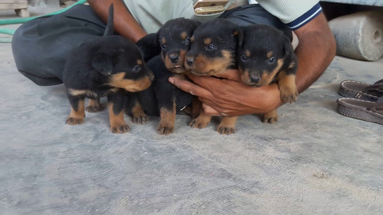 Rottweiler Puppies In Mysore Kennels 9611113181 Youtube