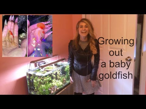 GROWING OUT A BABY GOLDFISH