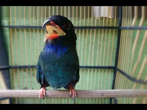 Burung Tengkek Buto Gacor Suara Kasar Masteran Ampuh