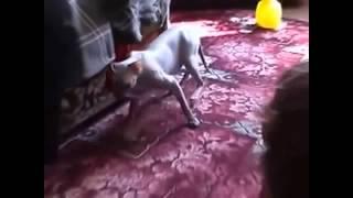Коты ﺹﺼﮕﭫ и валерьянка. Ржач.