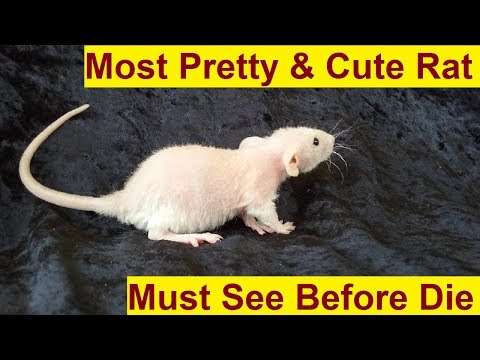 Try Not To Laugh Challenge – Funny and Cute Rat & Dog Vines compilation 2017 | Funny Animals Videos