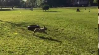 Pepper is a natural disc dog | adopt from Texas Cattle Dog Rescue