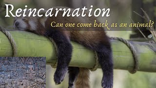 Reincarnation: Can one come back as an animal?