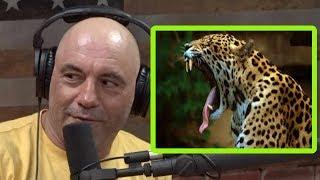 Joe Rogan: Ever Seen a Jaguar Tripping Out On DMT?