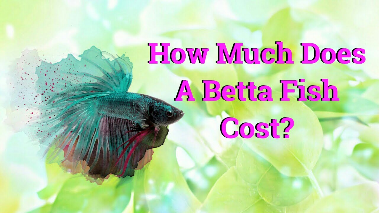 how much does a betta fish cost youtube