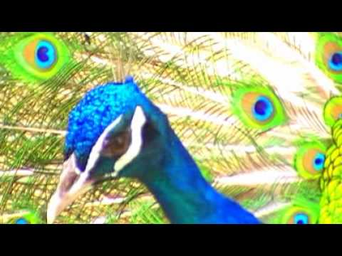 Peacock -The National Bird of India