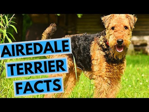 Airedale Terrier Dog Breed - Facts and Info