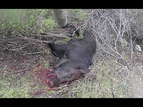 🐷 🐽 🐗 🐖 DOUBLE SOLO PUBLIC WILD PIG HUNT IN CALIFORNIA