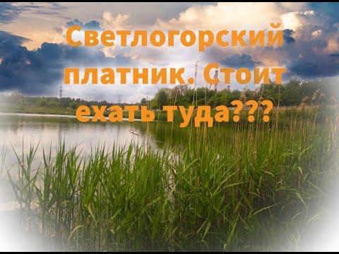 Платник Светлогорска! Стоит туда ехать??? Ловля Карпа, Карася. #платник #карп #карась #рыбалка