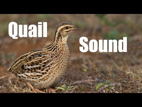 Quail Sound Effect