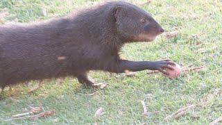 Water Mongoose grabs eggs