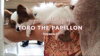 THE CUTEST PAPILLON PUPPY DOG  Toro turns 2!
