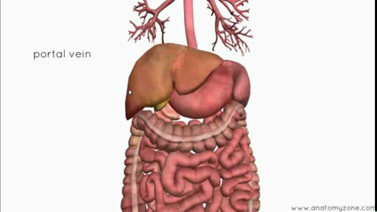 Introduction to the Digestive System Part 4 - Accessory Organs - 3D ...