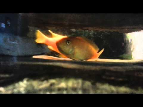 African Cichlids breeding (best breeding video ever)