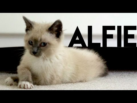 I Fostered a Siamese Kitten