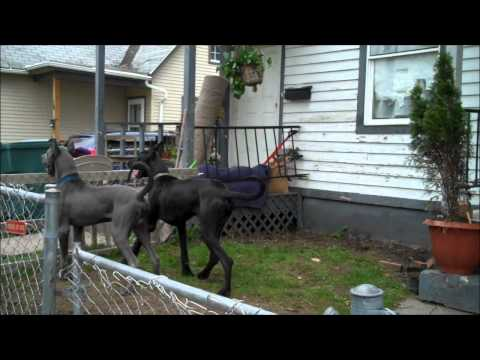 My Neighbors Two Great Danes