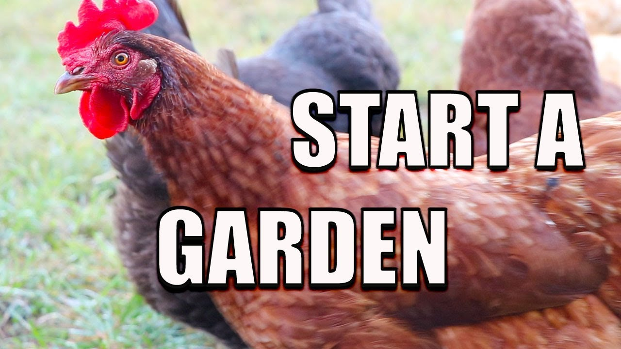How To Start A Garden Using CHICKENS! Permaculture Gardening