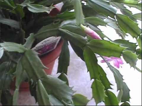 Christmas Cactus - YouTube