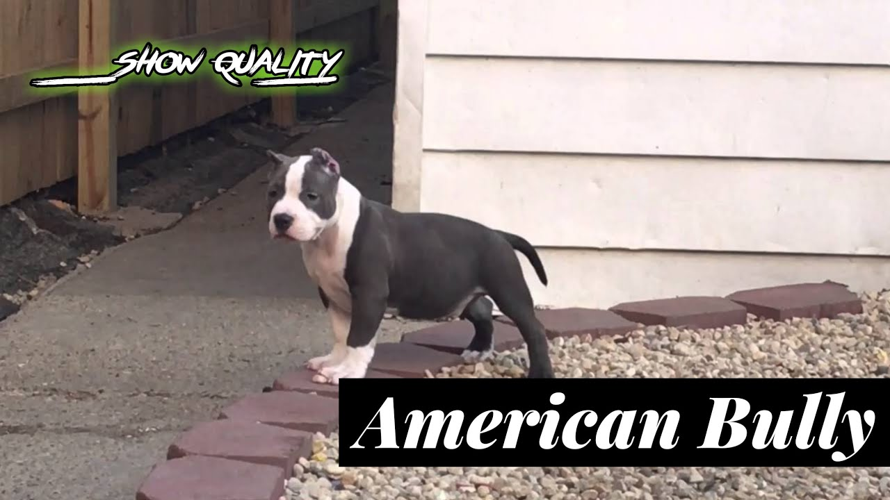 Show Quality American Bully Male Puppy Available Am Bully Puppy For Sale Delhi Pet Shop Youtube