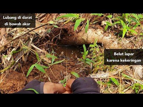 Gak nyangka bisa dapat belut di tanah merah yang kering