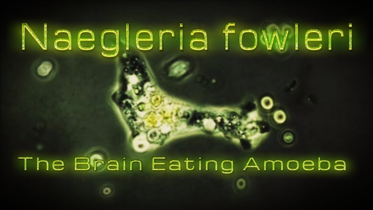 「Naegleria fowleri」の画像検索結果