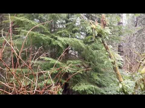Western Hemlock /Tsuga heterophylla