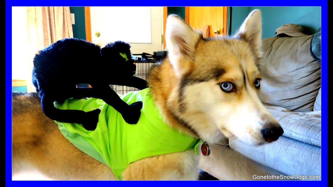HUSKY FREEZES IN HALLOWEEN COSTUME | Frozen Shelby Dog ...
