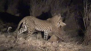 Leopard hunt in Zambia