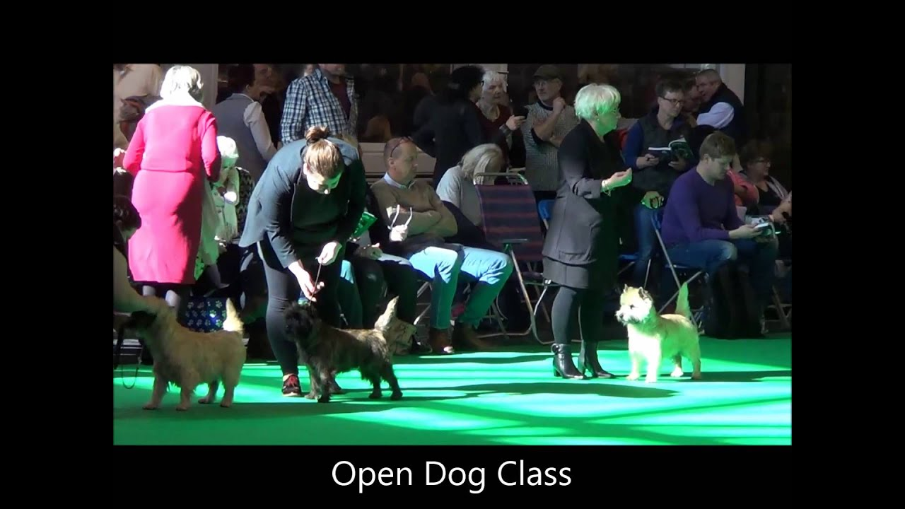 CRUFTS DOG SHOW 13 3 2016 Cairn Terrier Dogs