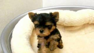 犬種:ヨークシャテリア/URL:http://www.nipponpet.co.jp/カラー:ス...