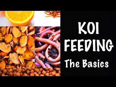 Feeding Your Koi