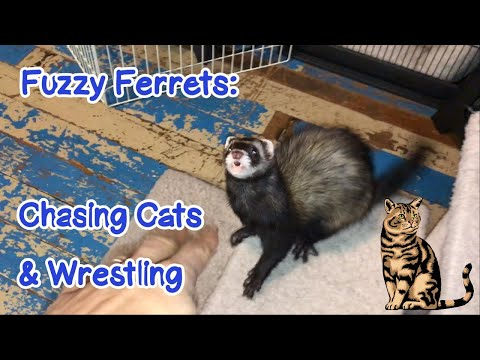 Fuzzy Ferrets: Chasing Cats and Wrestling - Our Other Adorable Pets 3 - VOL. 47