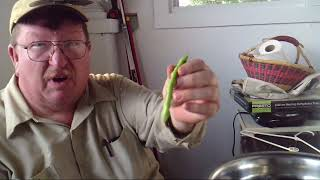 Homesteading - Shuck Beans Harvest and Process - Leather Britches