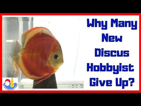 Why My New Discus Fish Get Sick Again And Again?