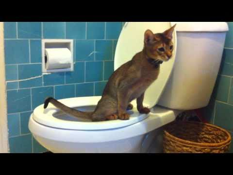 Abyssinian Cat Peeing in the Toilet!