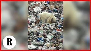 Siberia, orso polare stremato rovista tra i rifiuti urbani.