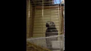 şakir Gri Jako papağan konuşuyor