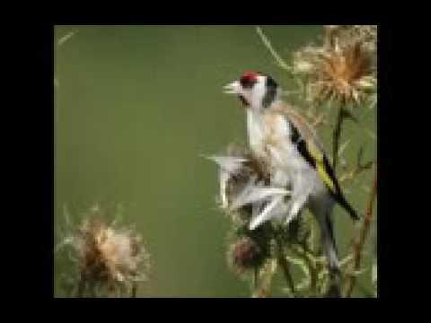 Tres Chant De Chardonneret Stayla Hassoun 2016