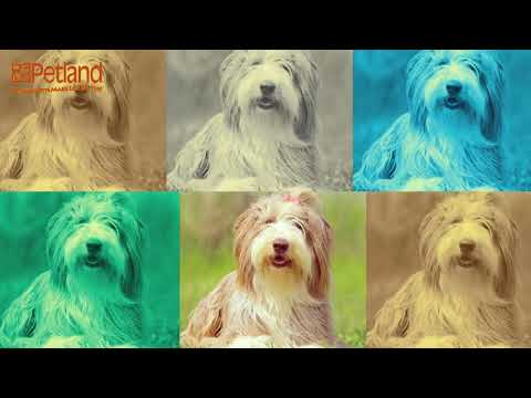 Learn all about the Bearded Collie and why they could be your perfect pet!