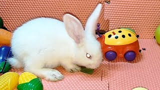 Funny Rabbits Playing With Fruit Toys But Cute Baby Bunny only likes eating vegetables